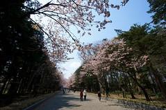 表参道の桜並木