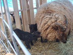 Selina and two moorit ram lambs