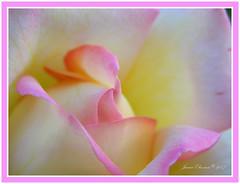 rose bud (PositiveVibrations) Tags: pink flower nature rose yellow bud naturegroup languageofflowers pinkalicious janiceeliovson delightfulrose theperfectphotographer
