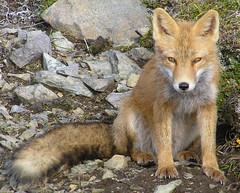 A HIKING BUDDY (anyaku2419) Tags: usa nature animal alaska america island critter wildlife fox unalaska aleutian dutchharbor aleutians foxislands