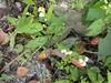 96.11.16竹崎鄉光華村茄苳風景區內的茄苳老樹DSCN3231