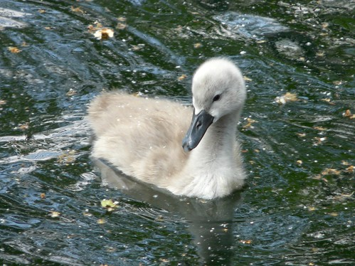 Cygnet on Surrey Water