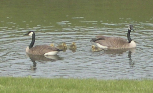 New Family on the Pond