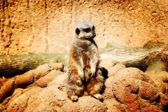 Laid Back Meerkat LOMO (chippa) Tags: zoo lomo louisville louisvillezoo