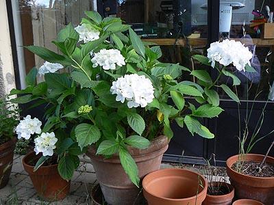 l'hortensia blanc.jpg