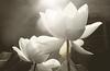 White Lotus Flower - IMG_1924 White Lotus Flowers