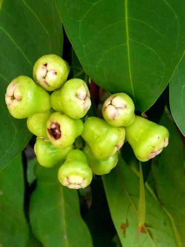 macopa fruit (immature)
