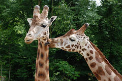Zoo d'Amnville | Kissing Giraffes (Alex Korting) Tags: france love animals tongue zoo tiere frankreich kissing giraffes giraffe tierpark licking lamour zunge girafe giraffen specanimal zoodamnville