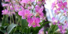 PinK (xeno(x)) Tags: park pink light color macro art nature canon garden orchids bangkok 2008 xeno 40d abigfave