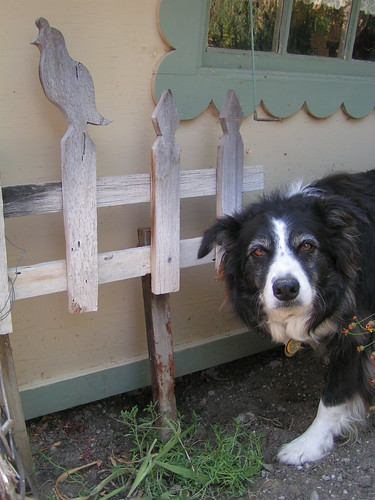 guilty-looking border collie