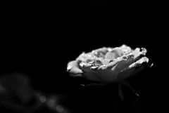 "Stat rosa pristina nomine, nomina nuda tenemus ([V1V1]) Tags: fab blackandwhite bw stilllife flower macro blancoynegro rose that petals drops nikon tears dof noiretblanc id taken rosa drop nb bn sw wish waterdrops palermo fiore petali soe biancoenero blackdiamond pdc lightroom gocce petalo blueribbonwinner supershot flickrsbest i bej golddragon abigfave nikond80 sigma1770mmf2845dcmacro anawesomeshot ilnomedellarosa theperfectphotographer goldstaraward thebestofday gününeniyisi v1v1 v1v14n4 rubyphotographer vivianaisca iwishidtakenthat damniwishidtakenthat waterdropsmacros ""nikonflickraward"" wishitookthat ysplixblack v1v1stilllife v1v1macro v1v1monochrome"