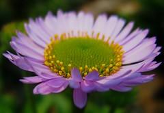 center stage (Darwin Bell) Tags: pink flower macro green dof abigfave superaplus aplusphoto goldstaraward
