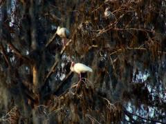 Ibis (lifequest22) Tags: birds tampa ibis fl lettucelakepark