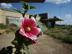 English Field parking lot (radargeek) Tags: flower route66 tx amarillo hollyhock englishfield
