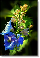 ~ madonna of the evening flowers ~* (tadelloeser ) Tags: blue flower bravo searchthebest blossom larkspur blueribbon naturesfinest flowerworld lifeasiseeit d80 golddragon mywinners abigfave anawesomeshot citrit empyreanflowers envyofflickr tadelloeser heartawards photostosmileabout auniverseofflowers