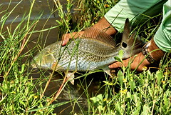 Redfish Release in Grass