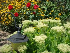 Sedum, Roses and blackeyed susans (slinger65) Tags: flower sedum blackeyedsusan