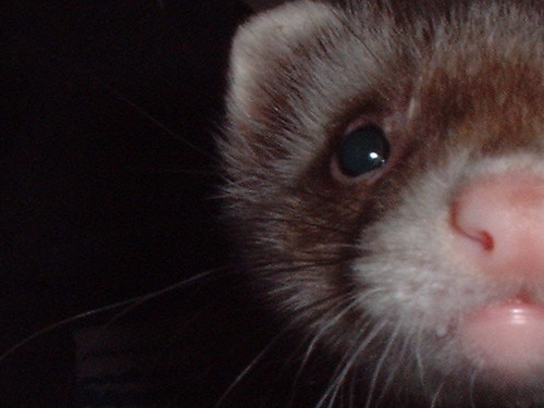 Valentine the Ferret
