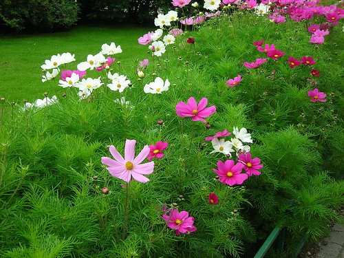 Cosmos at Lille Lungegardsvann