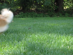 IMG_8255 (kelaltieri) Tags: bear dog playing puppy outside nj german pomeranian mahwah kleinspitz