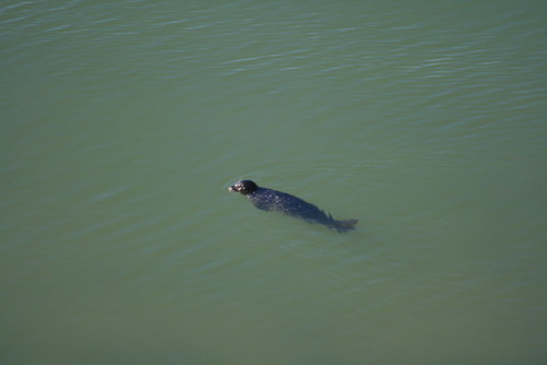 Seals Swimming near Jenner