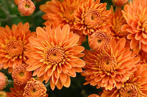 Orange Flowers Pictures. Orange Flowers. Daisies?