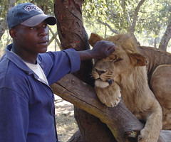 Nice lion, nice...