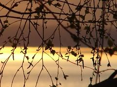 Abedul al atardecer (Alejandro Medina) Tags: chile patagonia lake flores primavera luz sol america lago atardecer south nostalgia otoo sur siluetas valdivia ranco tranquilidad elegancia sudamrica abedul llifn
