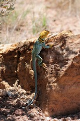 Collared Lizard (r.nicola) Tags: utah lucertola archespark rettile parconazionale statiunitidamerica