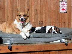 """"""" I Think I Need More Tan???"""" (fewstingscorpio) Tags: dog pets dogs animals puppy corgi play friendship relaxing mattie hottub basset cutedogs bassethound parker admiration partyanimals cuteanimals companionship canines hottubparty cutepets animalparty puppyplay funnydogs dogsunbathing animalplay"""