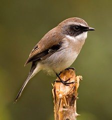 grey bushchat (T_Monk) Tags: india birds himalayan d90 300f4 kenkotc tmonkblr tmblbst tmnkblr