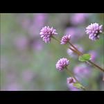 Hmong Medicine Flower