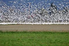 Snow Geese In Flight (Terry Green) Tags: snowgeese skagitcountywashington firislandgamereserve