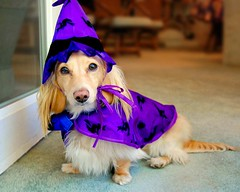 A cute little purple witch (Doxieone) Tags: door dog cute english long purple mosaic cream dachshund honey blonde haired 31 coll longhaired honeydog englishcream halloweenfall2008set