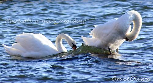 Swan playing in Stokholm