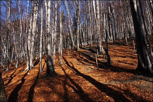 Silver Birches and Autumn Leaves