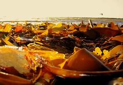 ~~ colours of the sea~~ (Ann Mari) Tags: sea seaweed beach home water amor templetown