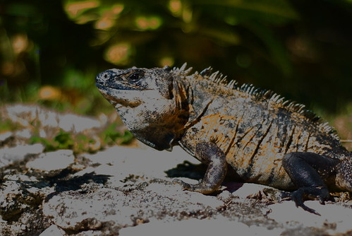 Heres the male iguana.