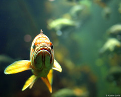 Why The Sad Face? (kudaker) Tags: sanfrancisco california orange fish green fauna aquarium lowlight underwater moo aviles pf sadface e510 californiaacademyofscience sigma30mmf14 gettyrf