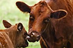 Tastes Like Chicken (Bill Adams) Tags: thanksgiving tongue hawaii cow explore calf bovine kohala kapaau canonef70200mmf28lisusm bigisiand chickenweek forjimelliot