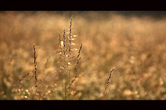 golden grassland (paolo brunetti) Tags: lighting winter light shadow snow macro green grass sunshine yellow gold golden dof bokeh candid explore erba fields spoleto sole grassland tones prato umbria todi monteleone castelluccio fieldsofgold autimn sfocatura dorato prateria dorate goldstaraward freedomhawk paololivornosfriends ec