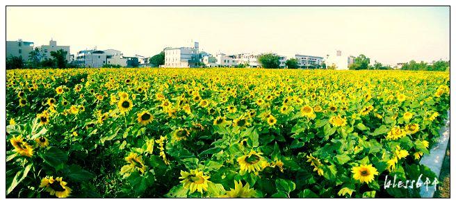 向日葵寬景照