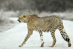 Cheetah (by Arno & Louise)