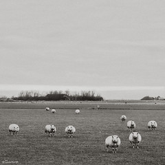 the audience (moggierocket) Tags: winter bw holland animal sheep staring texel 500x500 thelittledoglaughed winner500