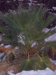 a palm in the snow