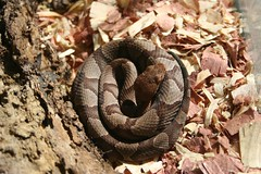 A juvenile copperhead snake from our back yard