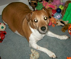 Gracie (Beyond.the.Box) Tags: dog pet baby love puppy toys gracie princess joy plushies softies browndog doggie jackrussellterrier dogtoys brownandwhitedog thinkoutsidethebox2008 squeekytoys