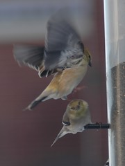 goldfinch_feeder_fight_156a (Mike Mills Tweed) Tags: ontario canada bird goldfinch attack feeder american americangoldfinch tristis thomasburg cardeulistristis cardeulis