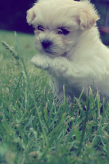 This is Miley Cyrus! - EXPLORED! (Brent Gambrell) Tags: dog cute yorkie puppy cyrus breed maltese miley