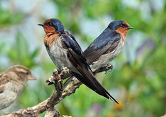 No, I'm not sulking.......... (Birds of the South) Tags: swallow birdwatcher featherfriday welcomeswallows